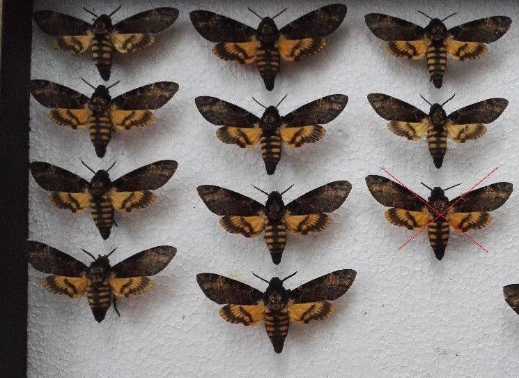 Co znamenají motýli, nalezení v ústech mrtvých?