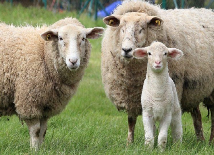 Švédský ovčák, jeho ovce a to ostatní